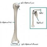 آناتومی بازو – استخوان