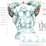 بازو – عضلات