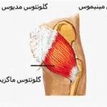آناتومی مفصل ران – اعصاب و عروق (رگ ها)