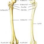 آناتومی ران – استخوان